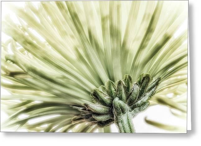 Close-up Of A Green Chrysanthemum Greeting Card