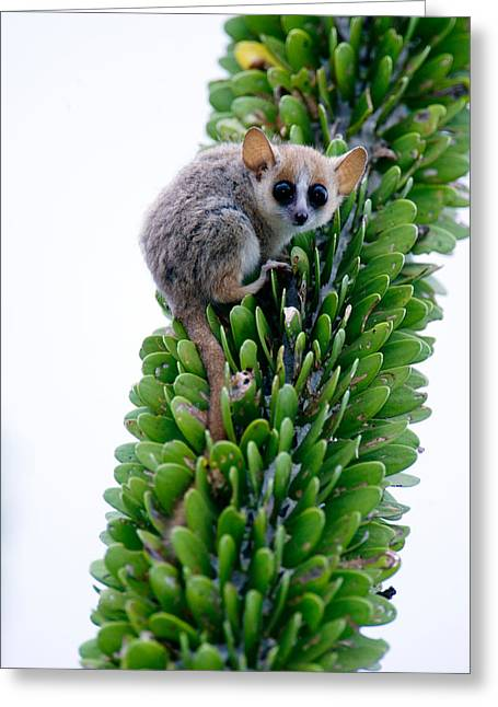Close-up Of A Grey Mouse Lemur Greeting Card by Panoramic Images