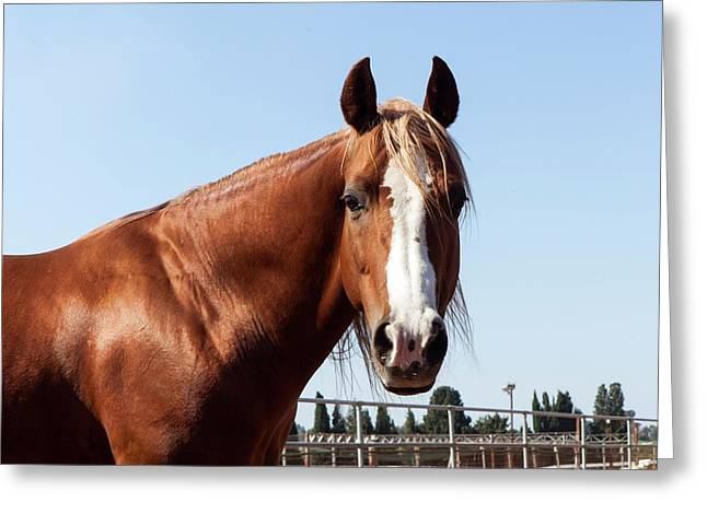 Close Up Of A Horse Greeting Card by Photostock-israel