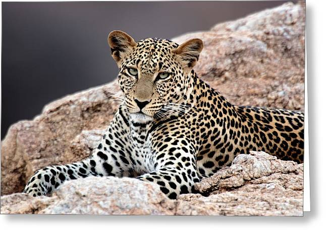 Close-up Of A Leopard Lying On A Rock Greeting Card