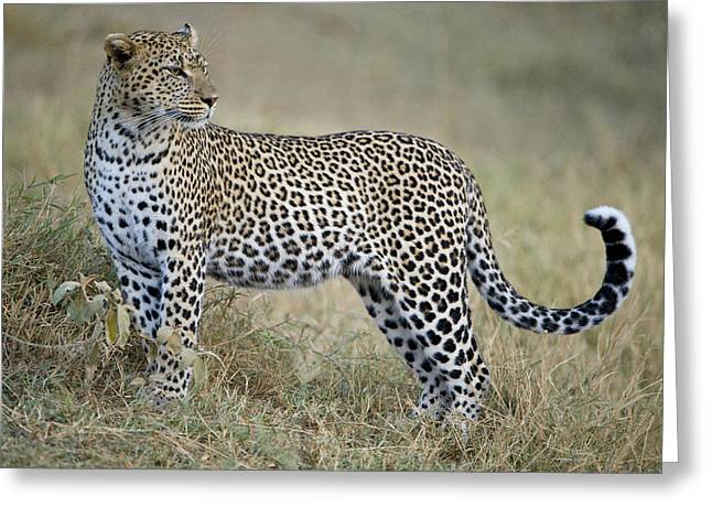 Close-up Of A Leopard Panthera Pardus Greeting Card by Panoramic Images