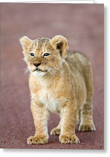 Close-up Of A Lion Cub Standing Greeting Card by Panoramic Images