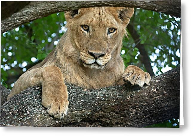 Close-up Of A Lion, Lake Manyara Greeting Card