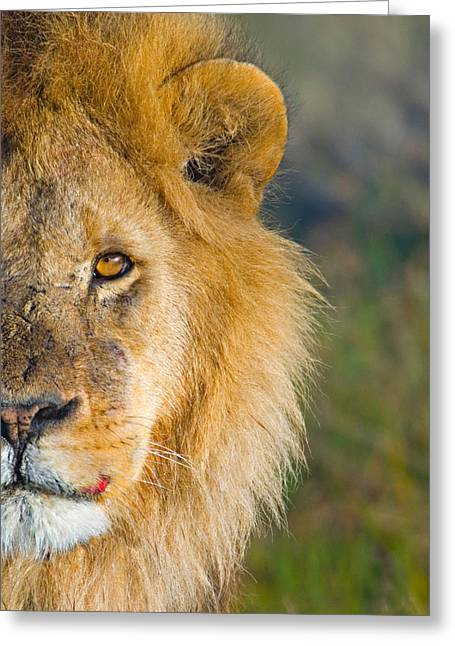 Close-up Of A Lion, Ngorongoro Greeting Card by Panoramic Images