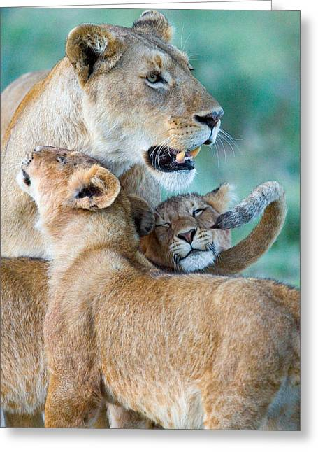 Close-up Of A Lioness And Her Two Cubs Greeting Card by Panoramic Images