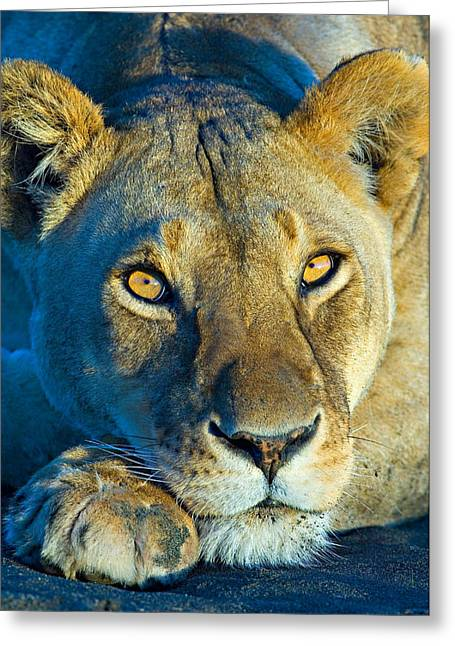Close-up Of A Lioness, Ngorongoro Greeting Card by Panoramic Images