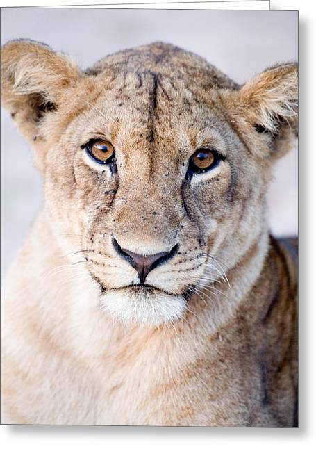 Close-up Of A Lioness Panthera Leo Greeting Card by Panoramic Images
