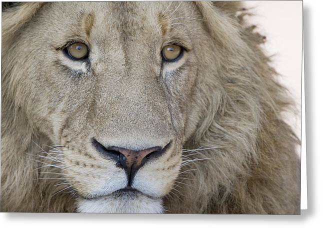 Close-up Of A Male Lion Panthera Leo Greeting Card by Panoramic Images
