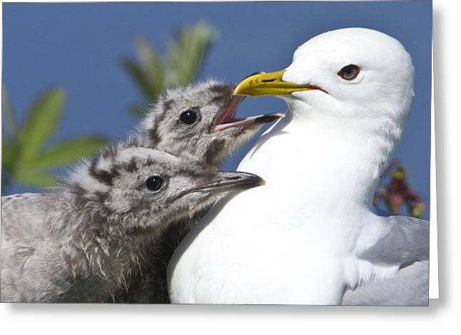 Close Up Of A Mew Gull With Two Hungry Greeting Card