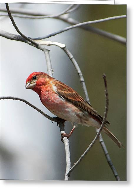 Close-up Of A Red-headed Purple Finch Greeting Card