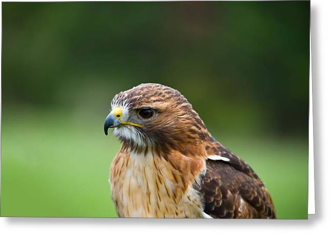 Close-up Of A Red-tailed Hawk Buteo Greeting Card