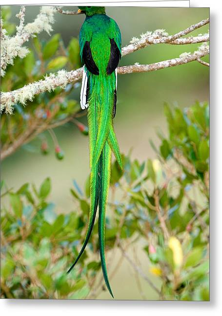 Close-up Of A Resplendent Quetzal Greeting Card by Panoramic Images