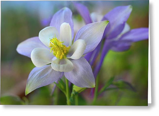Close-up Of A Rocky Mountain Columbine Greeting Card