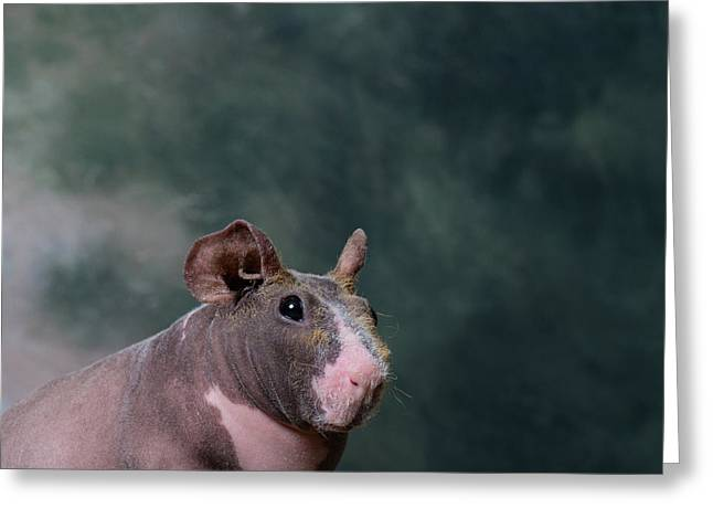 Close-up Of A Skinny Pig Greeting Card