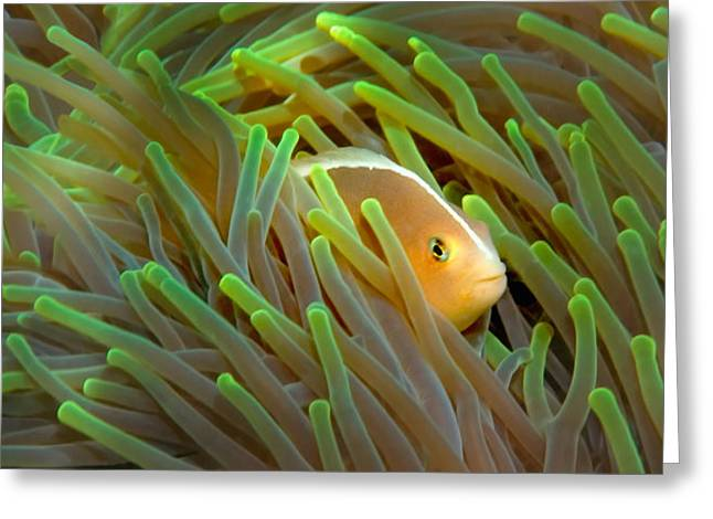 Close-up Of A Skunk Anemone Fish Greeting Card by Panoramic Images