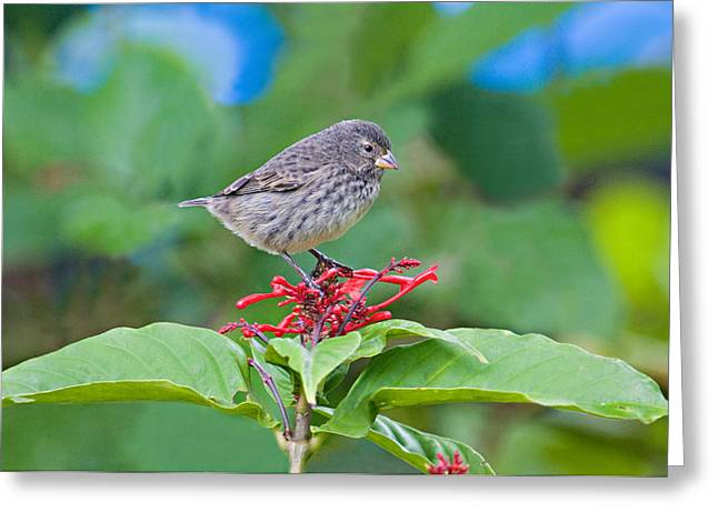 Close-up Of A Small Ground-finch Greeting Card by Panoramic Images