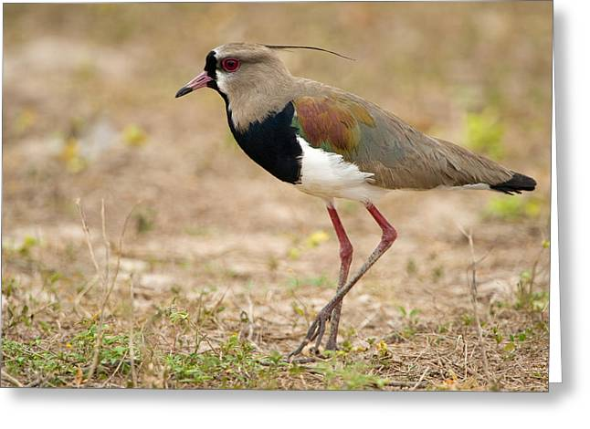 Close-up Of A Southern Lapwing Vanellus Greeting Card