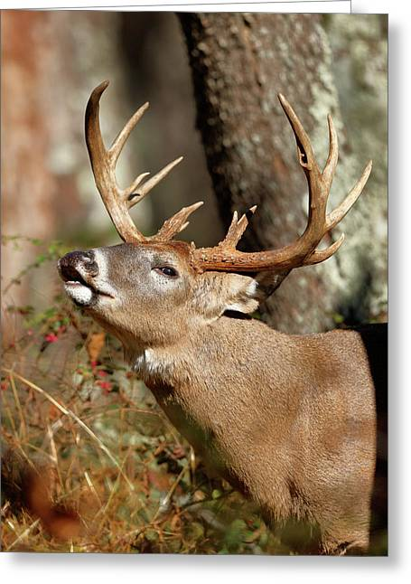 Close-up Of A White-tailed Deer Curling Greeting Card