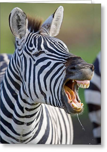 Close-up Of A Zebra Calling, Ngorongoro Greeting Card