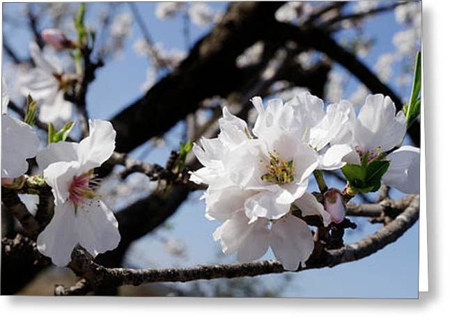 Close-up Of Almond Flowers, Vinaros Greeting Card by Panoramic Images