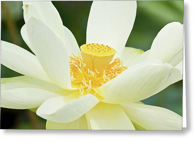 Close-up Of American Lotus Nelumbo Greeting Card by Panoramic Images