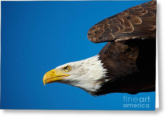 Close-up Of An American Bald Eagle In Flight Greeting Card by Nick  Biemans