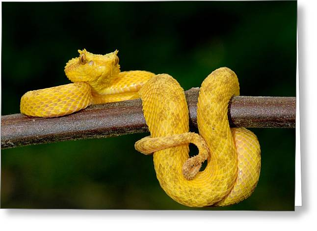 Close-up Of An Eyelash Viper Greeting Card by Panoramic Images