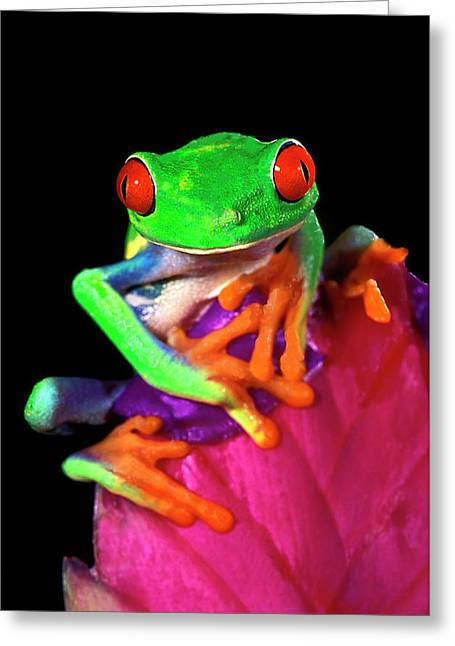 Close-up Of Captive Red-eyed Tree Frog Greeting Card by Jaynes Gallery
