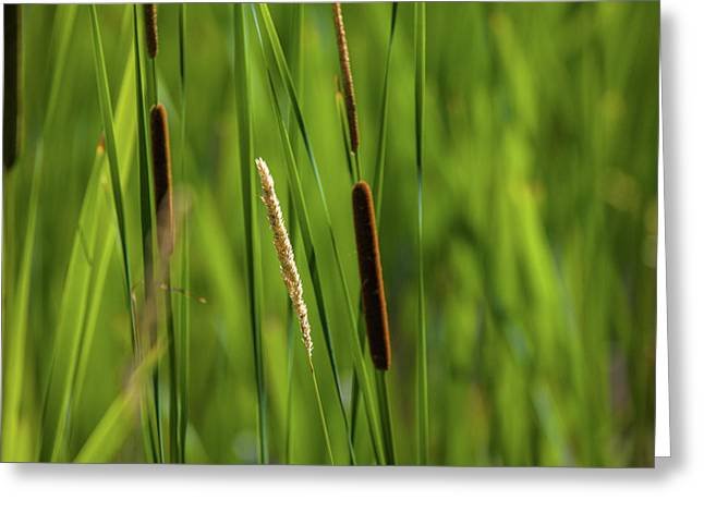Close-up Of Cattails Plant In A Field Greeting Card