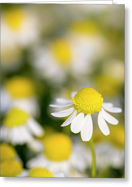 Close Up Of Chamomile (matricaria Greeting Card by Martin Zwick