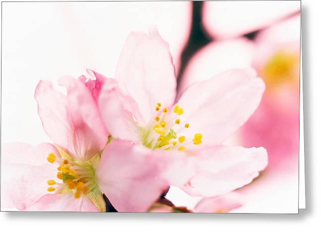 Close Up Of Cherry Blossom Greeting Card by Panoramic Images