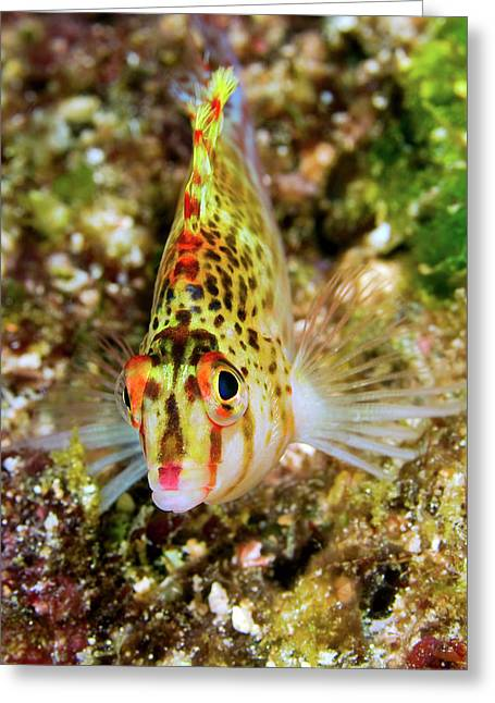 Close-up Of Colorful Hawkfish Greeting Card by Jaynes Gallery