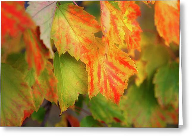 Close Up Of Colourful Leaves Changing Greeting Card by Jenna Szerlag