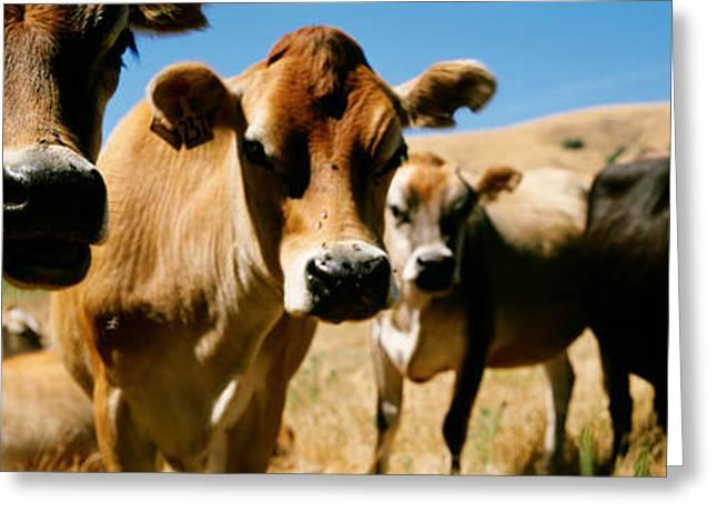 Close Up Of Cows, California, Usa Greeting Card