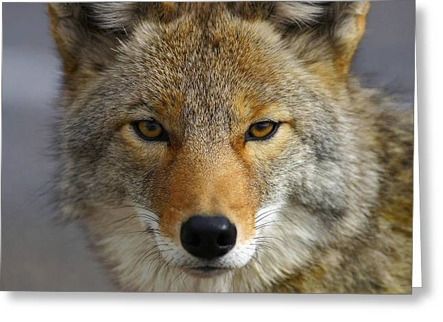 Close Up Of Coyote Death Valley Greeting Card by John Delapp