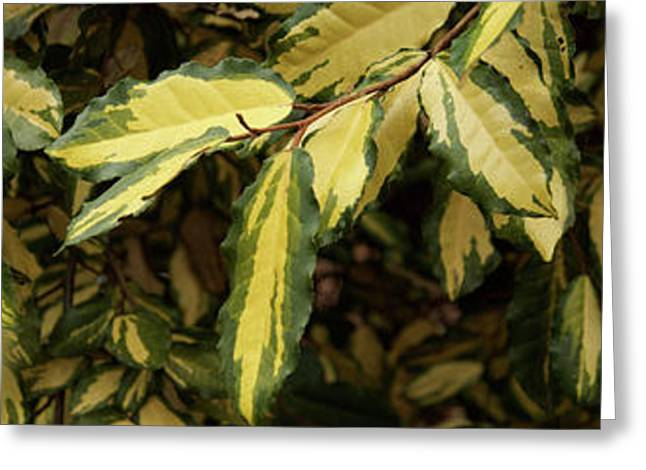 Close-up Of Euonymus Leaves Greeting Card