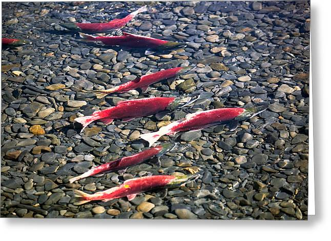Close-up Of Fish In Water, Sockeye Greeting Card by Panoramic Images