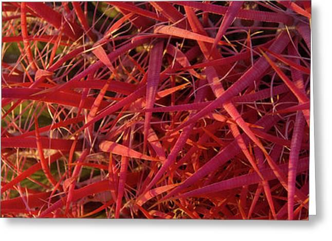 Close-up Of Fishhook Cactus, Baja Greeting Card