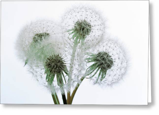 Close Up Of Four Dandelion Heads Greeting Card by Panoramic Images