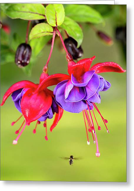 Close Up Of Fuchsia And Insect Greeting Card by Ray Bulson
