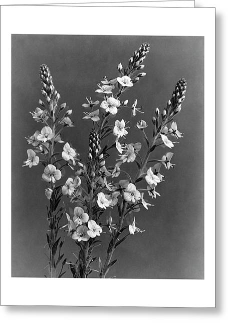 Close Up Of Gentian Speedwell Flowers Greeting Card