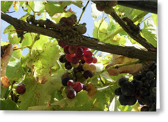 Close-up Of Grapes On Vine, Black Barn Greeting Card by Panoramic Images