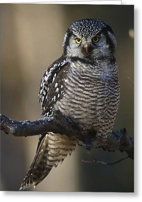 Close Up Of Hawk Owl Perched Greeting Card