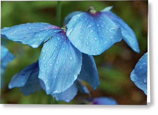 Close-up Of Himalayan Poppy Flowers Greeting Card