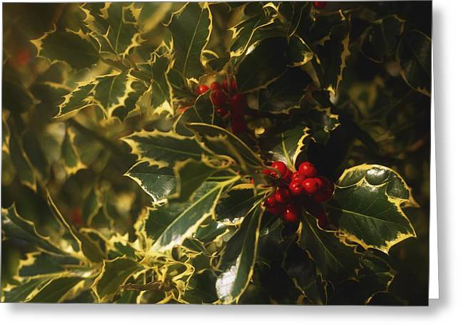 Close-up Of Holly And Berries Ireland Greeting Card by The Irish Image Collection