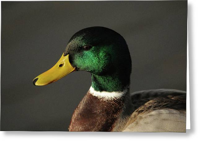Close Up Of Male Mallard Duck Greeting Card