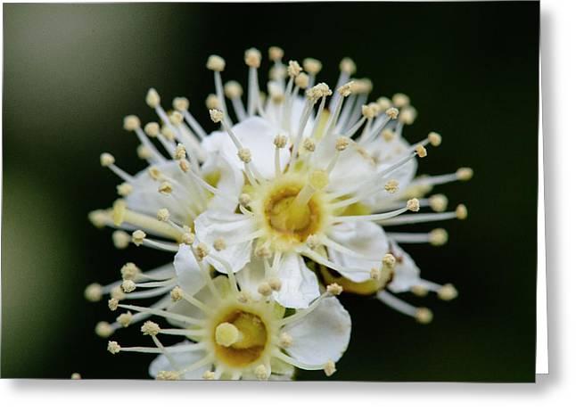 Close Up Of Maple Leaf Viburnum (also Greeting Card by Matt Freedman