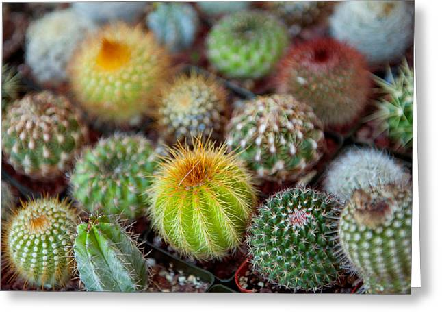 Close-up Of Multi-colored Cacti Greeting Card by Panoramic Images