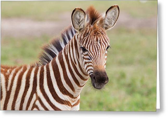 Close-up Of Newborn Zebra (equus Quagga Greeting Card by James Heupel