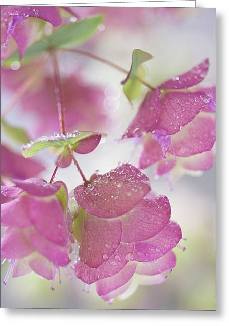 Close-up Of Ornamental Oregano Plant Greeting Card by Jaynes Gallery